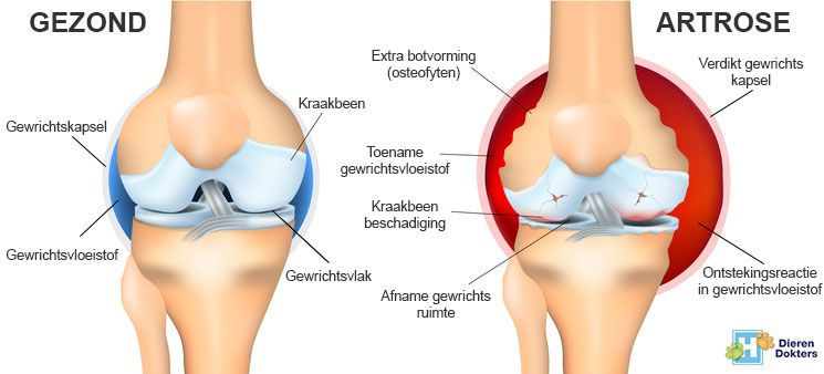 https://www.dierendokters.com/images/Ziekten/Gewrichten/artrose_gewricht_hond_kat.jpg