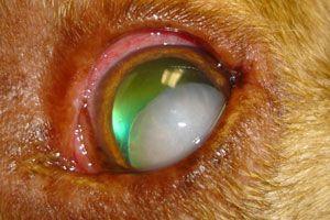 lensluxatie-hond