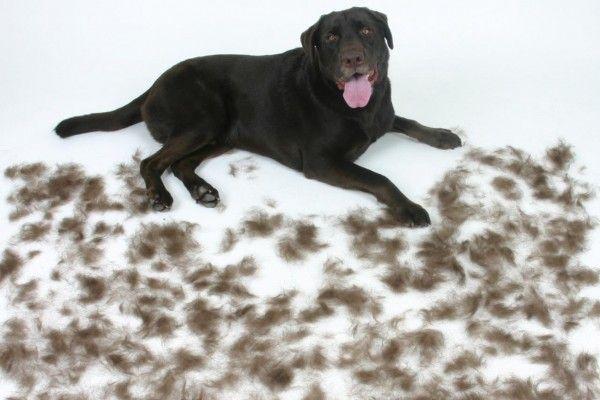 verharing haaruitval rui hond
