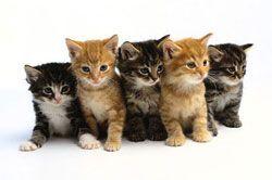 kittens-zijn-extra-gevoelig-voor-felv