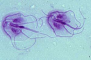 giardia parasiet