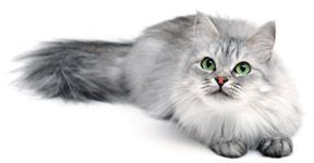 kattengeneeskunde