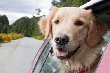 Met de hond in de auto
