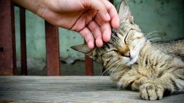 Waarom geven katten kopjes?