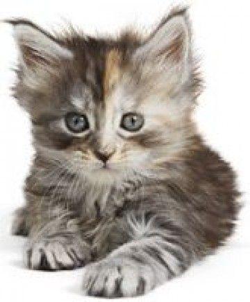 Kittenleeftijd