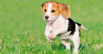 Je pup leren los te lopen