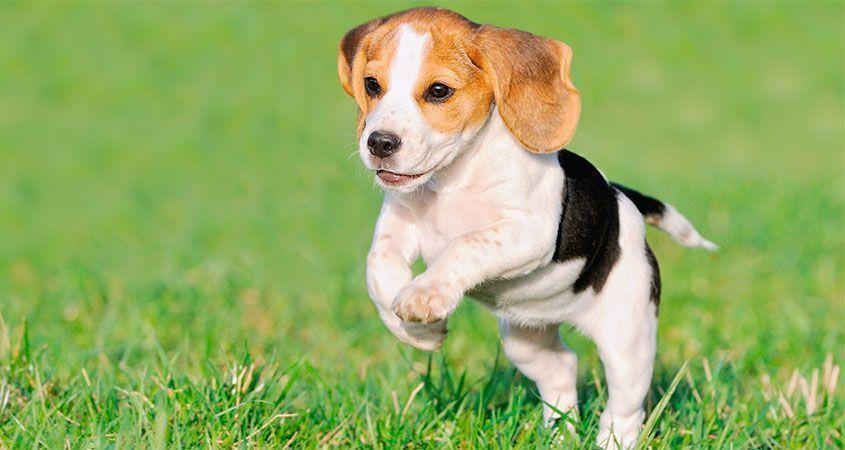 puppy leren los te lopen