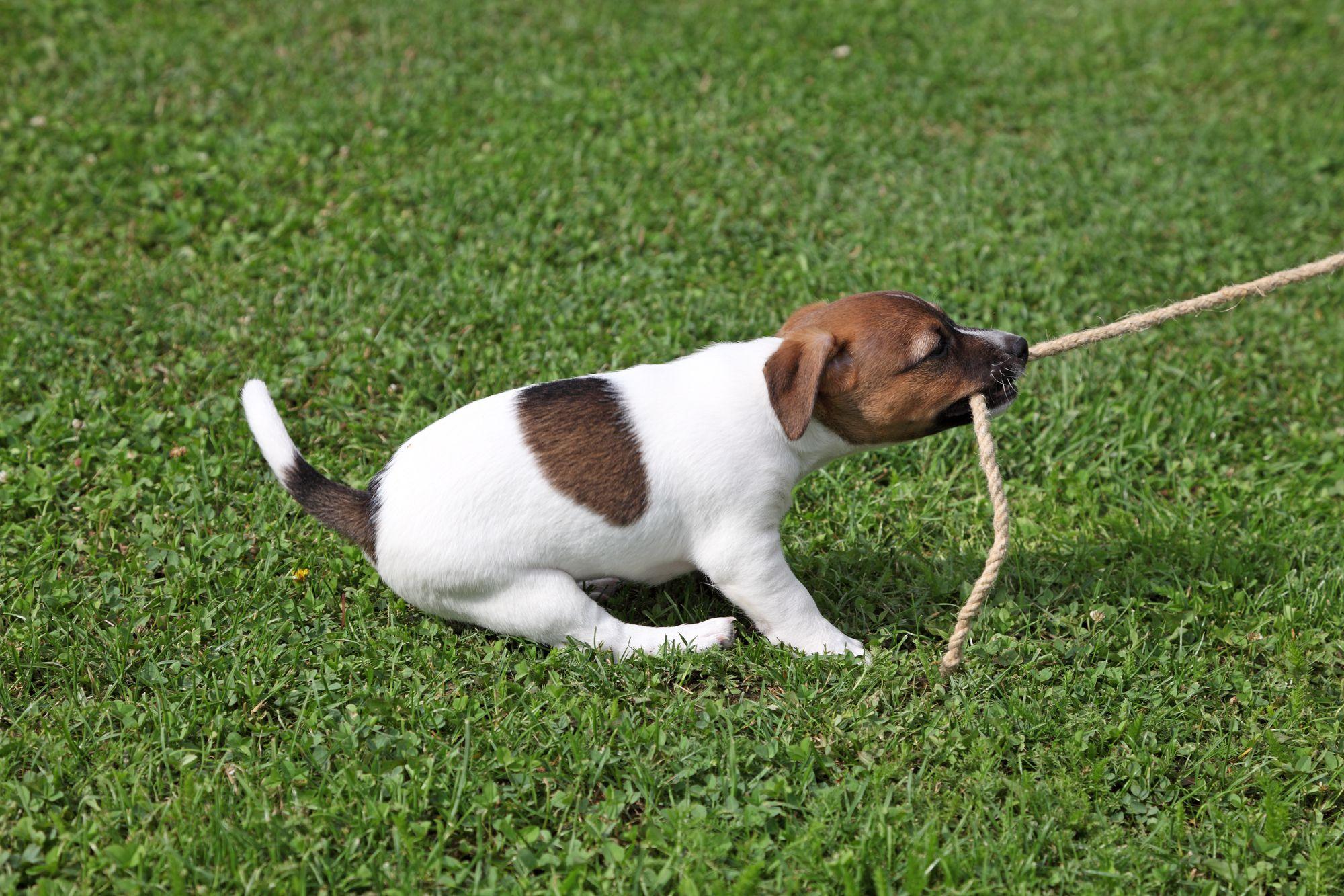 Trekspelletjes met je pup, laat hem gerust eens winnen!